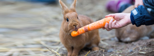 Rabbit eating carrot